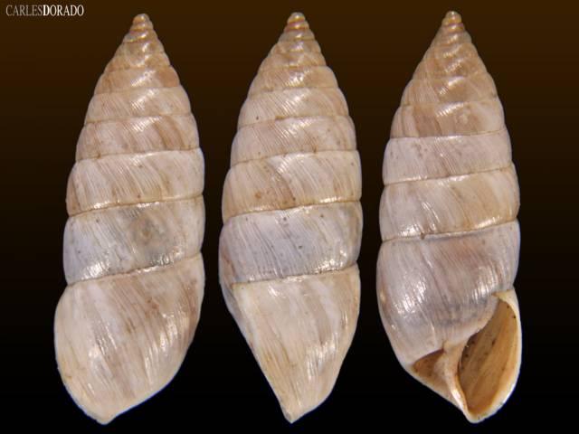 Bostryx abancayensis rudistriatus