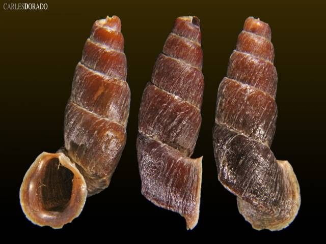 Zilchiella grandiportus