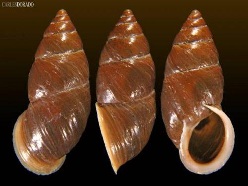 Subzebrinus macrostoma
