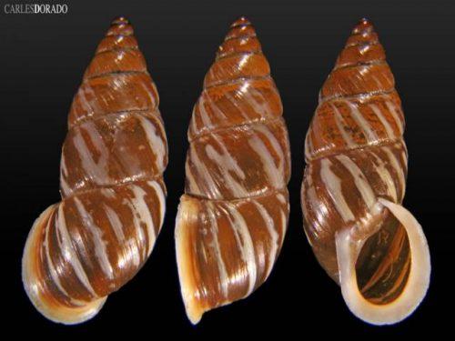 subzebrinus schypaensis