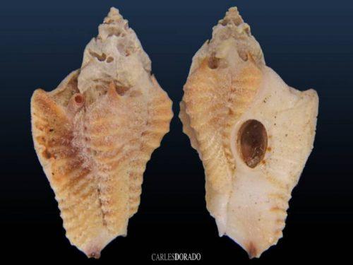 Typhisopsis coronatus