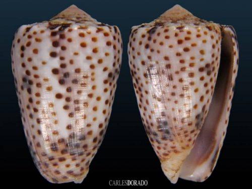Conus pulicarius vautieri