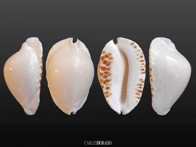 Zoila marginata albanyensis