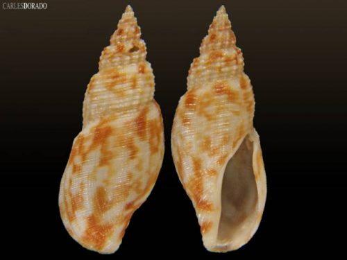 Daphnella lymneiformis
