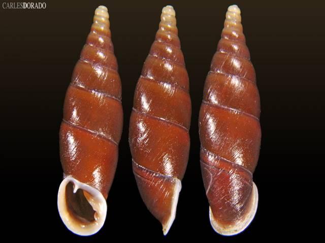Hemiphaedusa thatkheana splendida