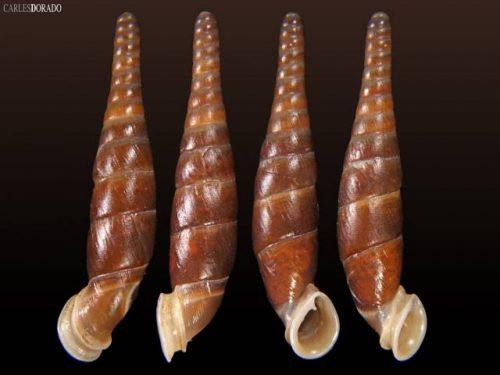 Miraphaedusa harryleei
