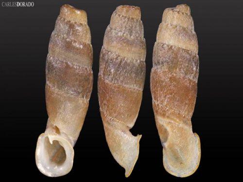 Cylindronenia cicatricosa leimebambensis