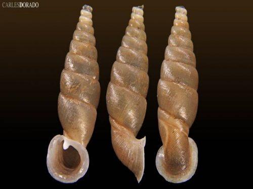 Tropidauchenia fischeri reticulata