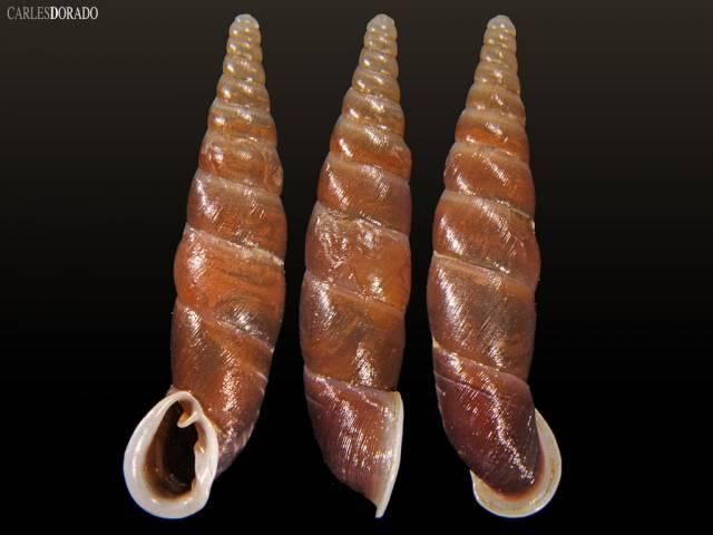 Oospira albiapex