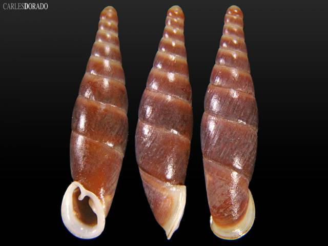 Hemiphaedusa hemmeni yucola