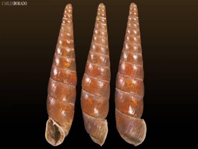 Likharevia gilanensis sp