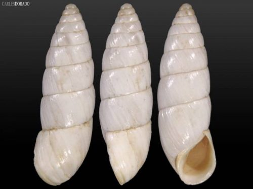 Leucomastus varnensis