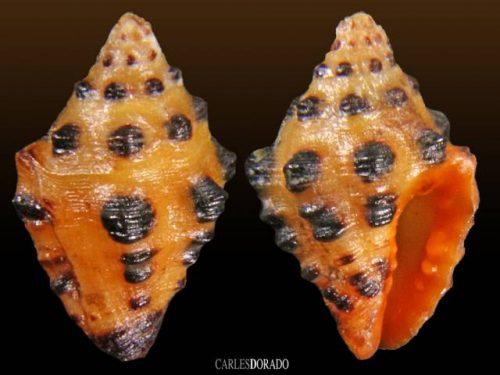 Engina tabogaensis