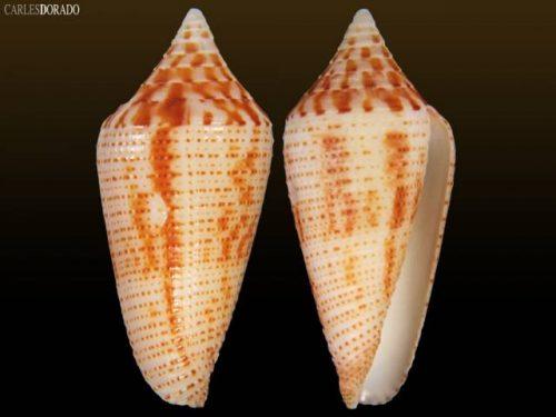 Conus cf mahogani