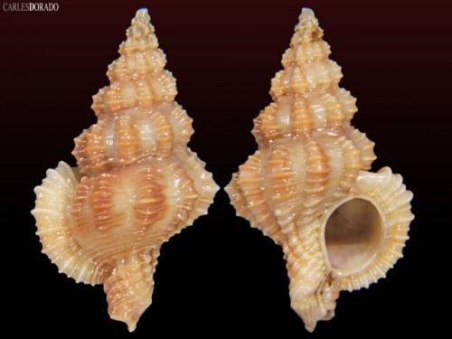 Favartia sp