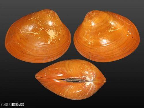 Megapitaria aurantiaca