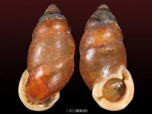 Pupinella rufa