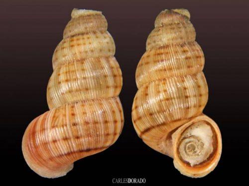 Chondropoma plicatulum