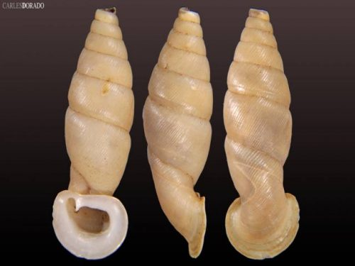 Megalauchenia proctostoma