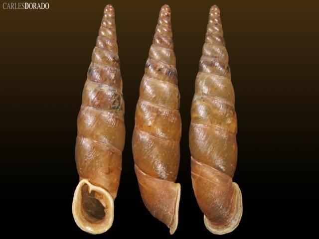 Phaedusa paviei