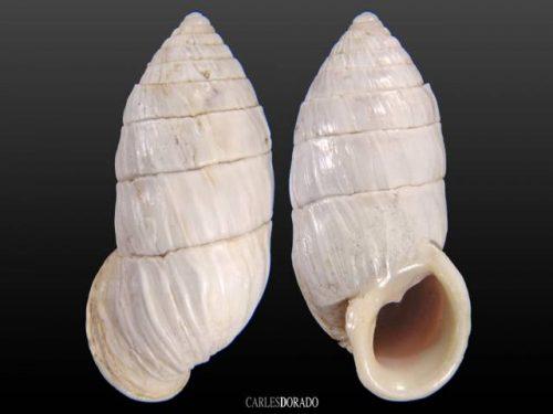 Cerion chrysalis