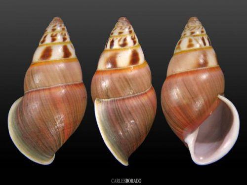 Amphidromus hongdaoae