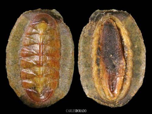 Callochitonidae