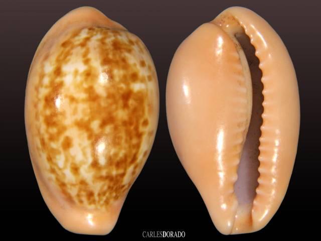 Zonaria pyrum petitiana