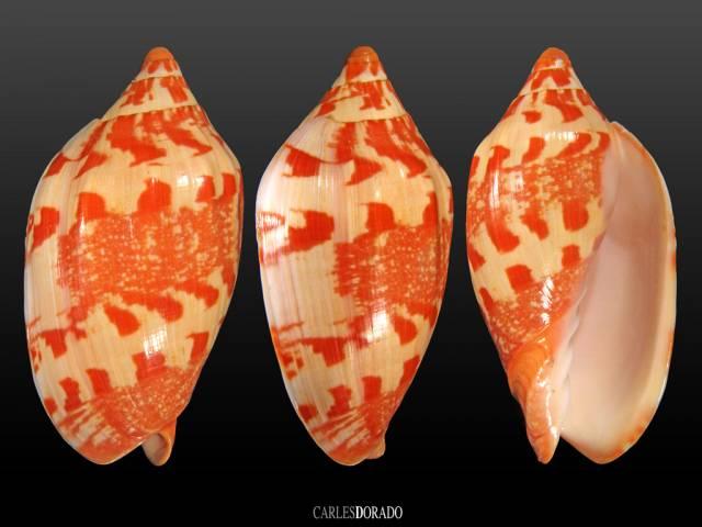 Cymbiola aulica palawanica