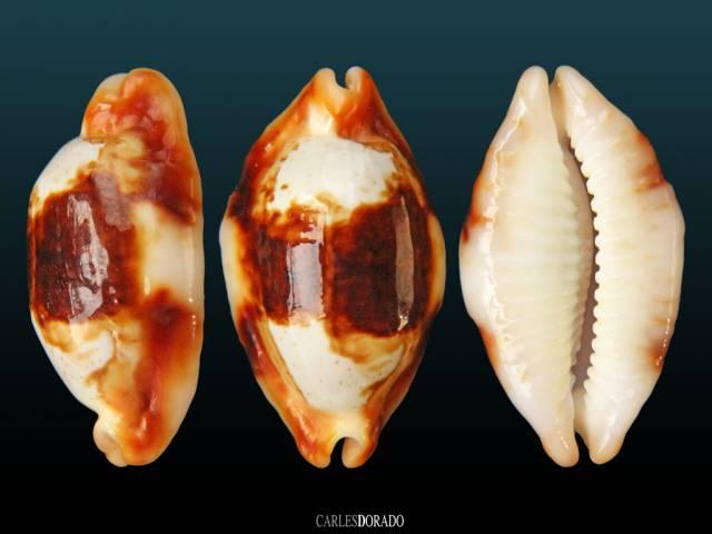 Bistolida stolida crossei niger