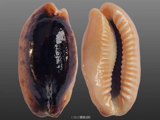 Erronea caurica niger
