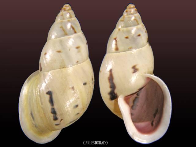 Drymaeus strigatus var delphinae