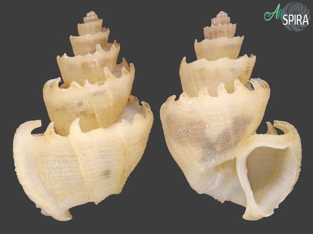 Trigonostoma thysthlon