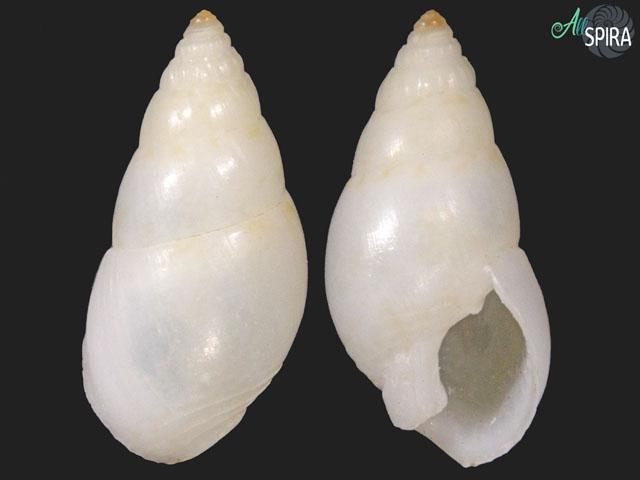 Nassarius lochi