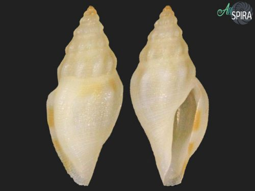 Cytharopsis kyushuensis