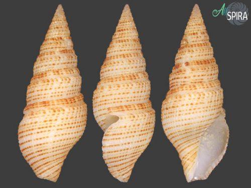 Cochlespiridae