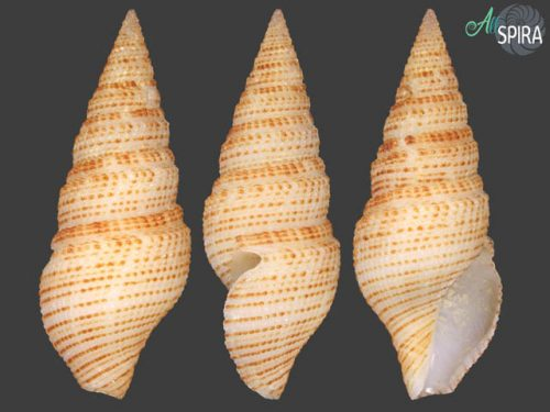 Clavosurcula sibogae