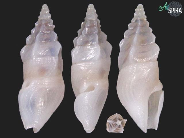 Plagiostropha opalus