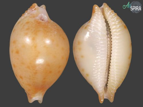 Pustularia margarita
