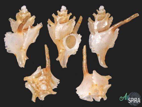 Typhinellus cf occlusus