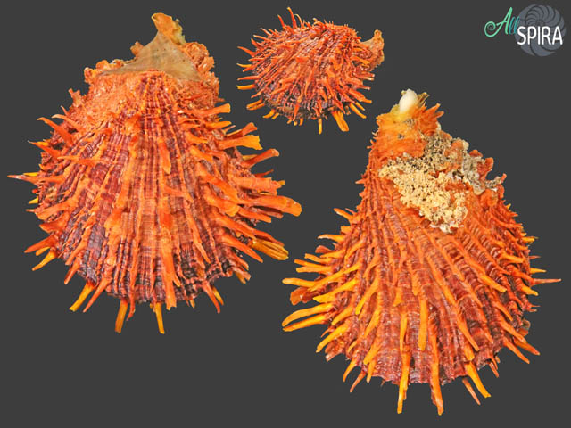 Spondylus zonalis