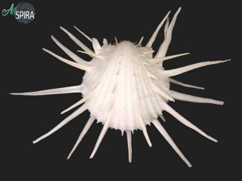 Spondylus imperialis
