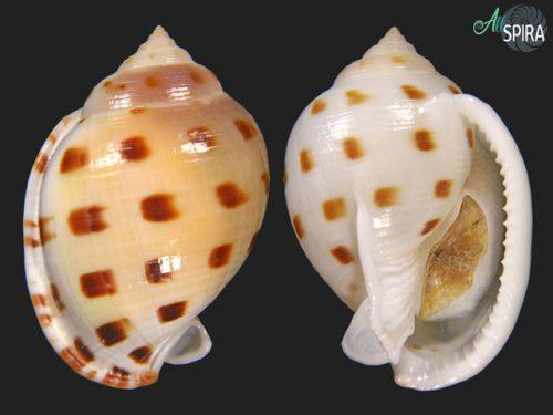 Semicassis bisulcata