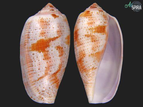 Conus tulipa