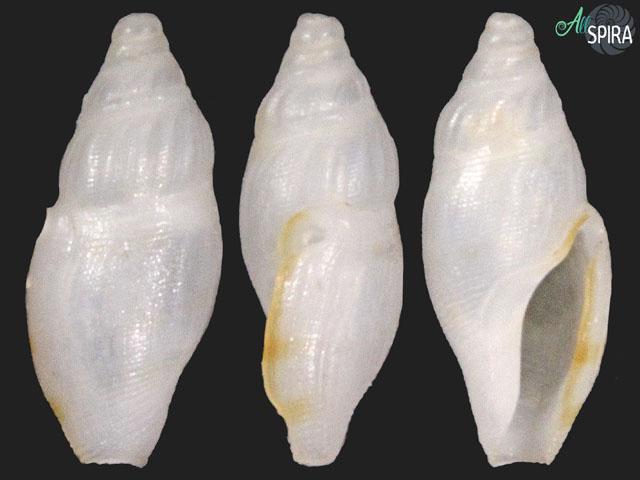 Daphnella sp