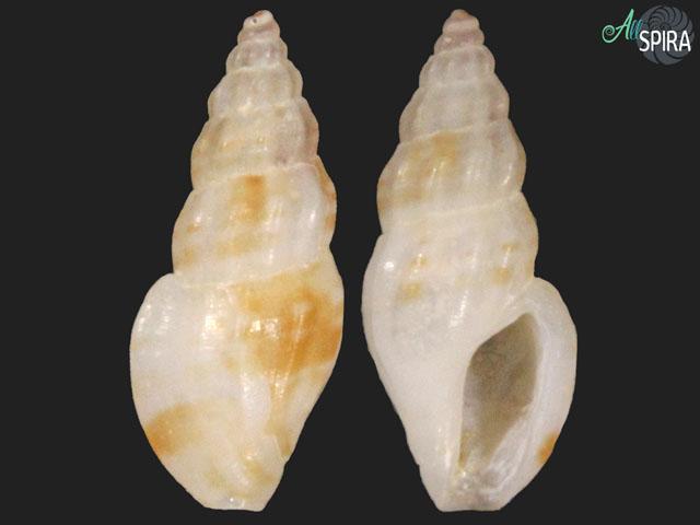 Anacithara sp