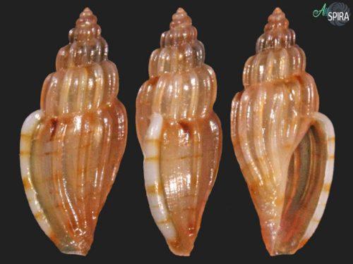 Cythara sp