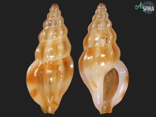 Anacithara sp-3