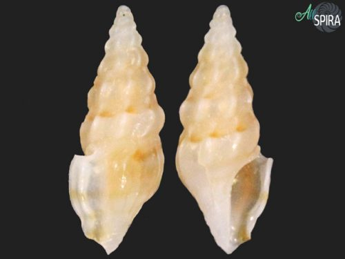 Splendrillia aff suluensis
