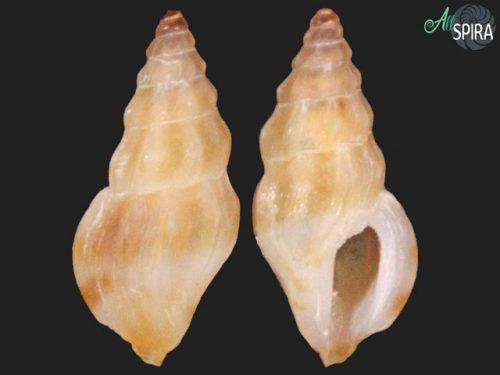 Anacithara sp-4